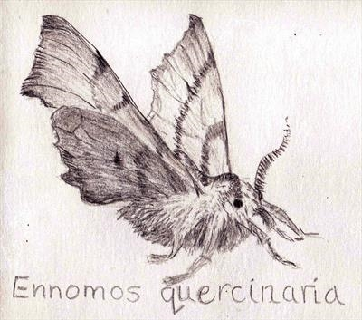 Ennomos quercinaria - August thorn