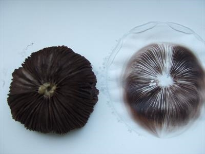 spore print from fungus