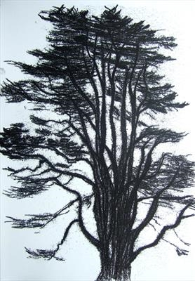 Cedar of Lebanon 1