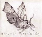 Ennomos quercinaria - August thorn by Susan Deakin, Drawing, silverpoint on prepared paper