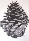 Pine Cone by Susan Deakin, Drawing, Charcoal on Paper
