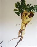 Tender and True parsnip by Susan Deakin, Drawing, Pastel on Paper