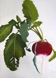radish by Susan Deakin, Drawing, Pastel on Paper